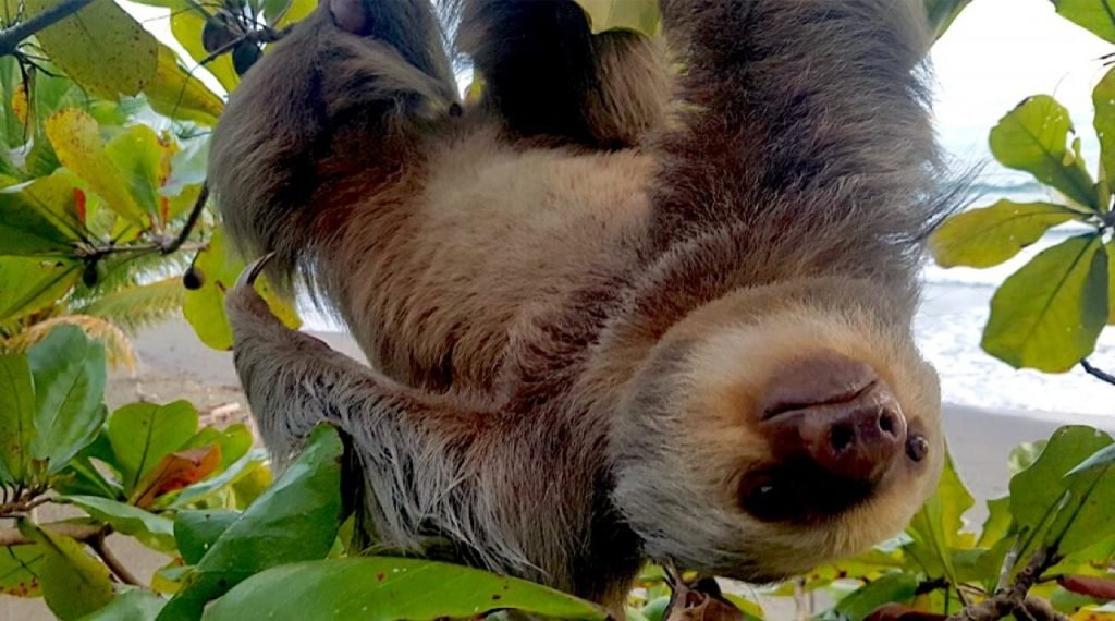 sloth-sanctuary-costa-rica-volunteer